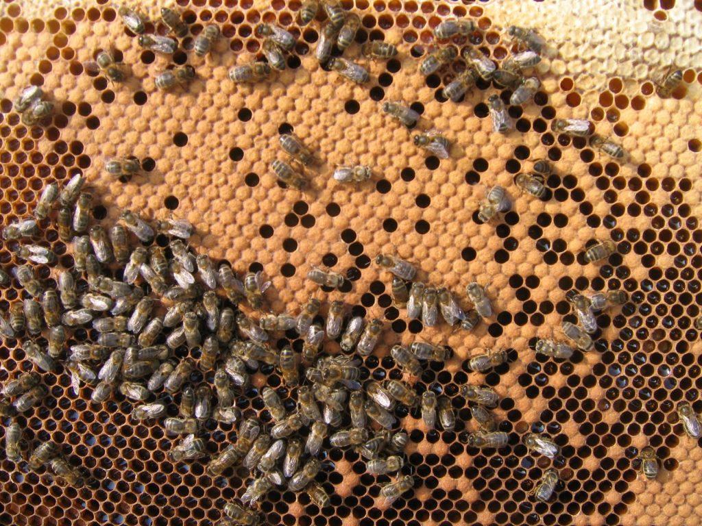 604-cadre avec couvain et miel